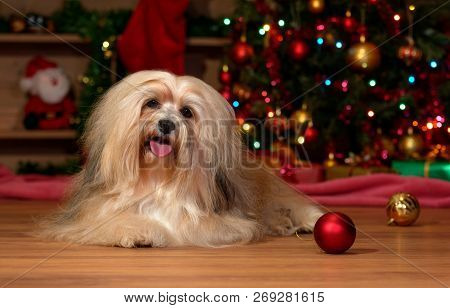 Happy Bichon Havanese Dog Is Lying In Front Of A Christmas Tree With Some Ball Ornaments