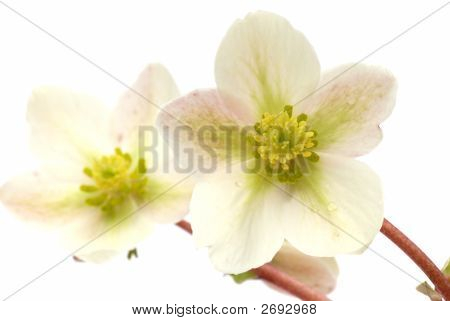 Ivory Tenten Rose, Hellebore
