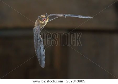 Pipistrelle Bat (pipistrellus Pipistrellus) Flying On Wooden Loft Of House In Darkness