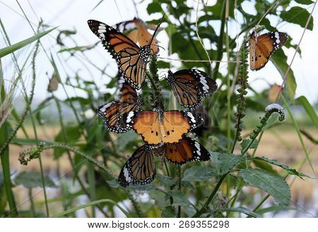 Beautiful Butterfly, Black Veined Brown Butterfly, Animals,butterflies,antennas, Butterfly, Common T