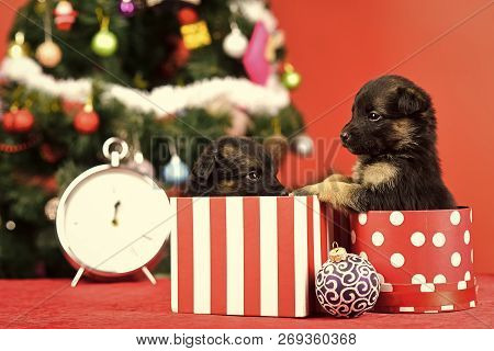 Dog Year, Pet And Animal On Red Background. Boxing Day And Winter Xmas Party. New Year, Cute Puppy G