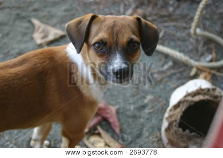 Little Brown And White Dog