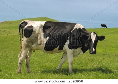 Black And White Cow