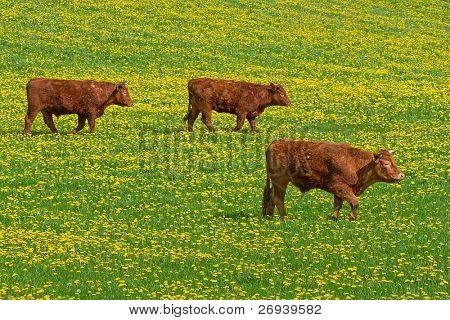 Irish cows on the idyllic meadow with dandelion poster