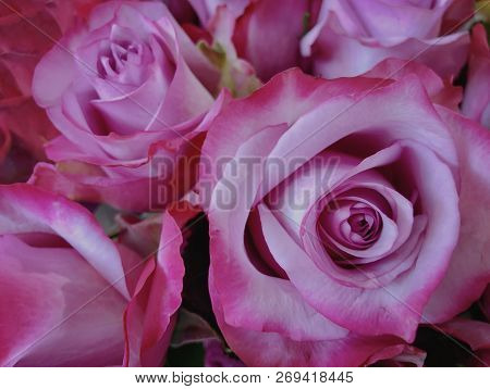 Bouquet Of Pink Roses In Full Bloom