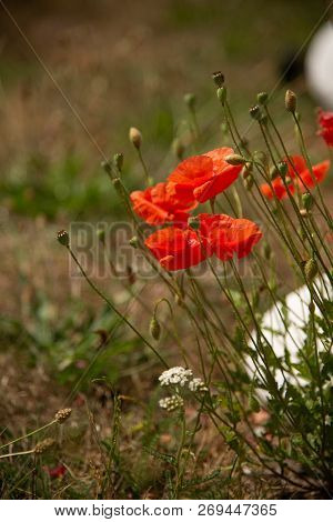 Red Poppies In Wild Field. A Stock Photo.