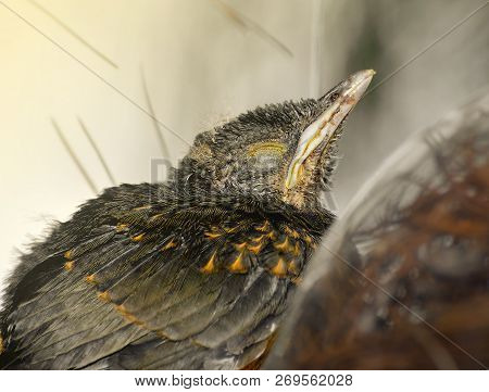 Baby Bird Sleeping With Closed Eyes. Small Bird That Doesnt Fly Yet Waiting For Mom. Rufous-bellied