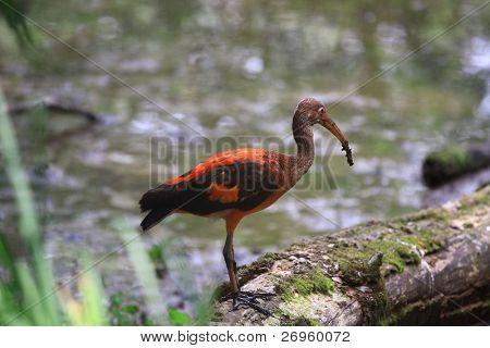 Red bird hunting