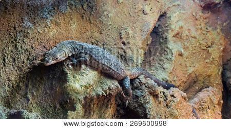 Big storr's monitor lizard a tropical terrarium pet that lives in australia poster
