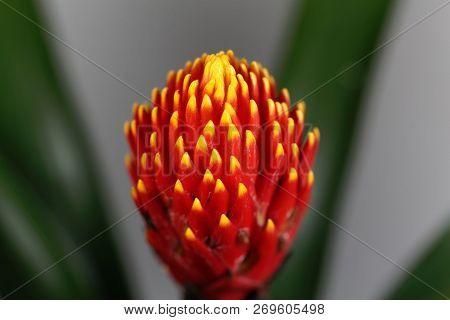 Flower Of The Guzmania Hybrid Tala