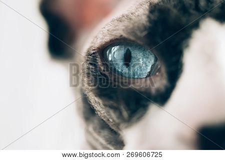 Macro Photo Of A Canadian Hairless Sphinx Cat Eye. Close-up Photo Of A Animal Eye. White Curtains At