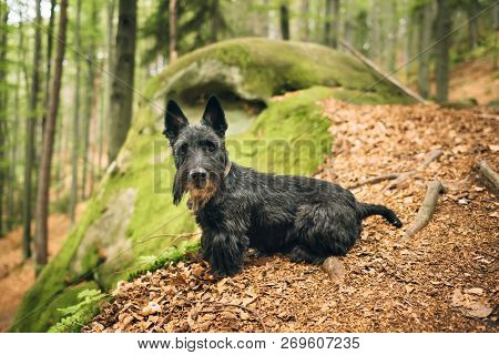 Portrait Of A Black Scottish Rerrier In A Forest. Dog-walking Outdoors.