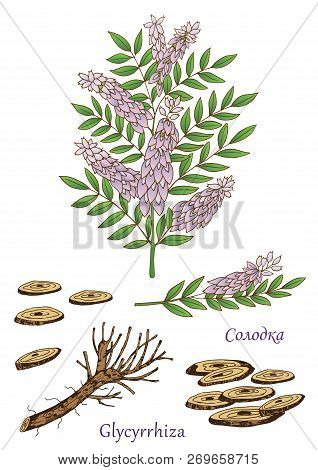 Herbs, Spices And Seasonings Collection. Vector Hand Drawn Illustration Of Glycyrrhiza Plant. Cyrili