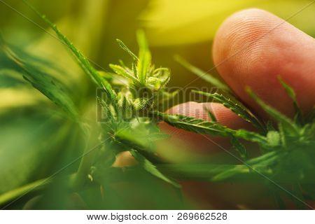 Farmer Is Examining Cannabis Hemp Male Plant Flower Development, Extreme Close Up Of Fingers Touchin