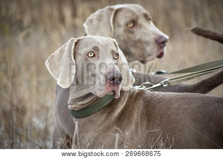 Portrait of a hunting dog. Weimaraner. Weimar Pointer. Dogs in the field before hunting. poster