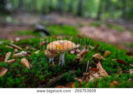 Photo Of Autumn Forest. Group Of Brown Mushrooms On The Old Log