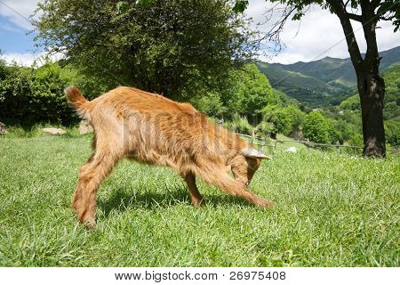 Goat Playing In Asturias