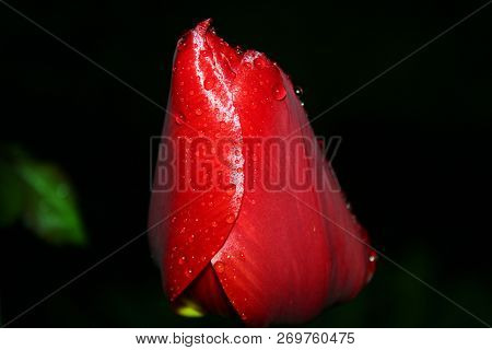 Passion Flower. Red Tulip Symbolizes A Strong Disinterested, True Love, Attracts Wealth And Fame To