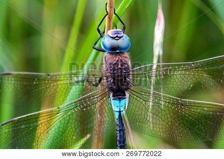 Emperor Dragonfly Or Anax Imperator In Grass