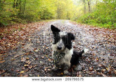Dog With Leaves. Walk In The Park. Autumn Mood.  Sonbaharda Ormanda Köpek.