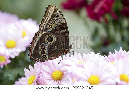 Close-up Of A Brown Butterfly Sitting On A Pink Flower