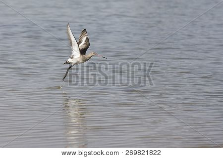 Black-tailed Godwit With Non-breeding Plumage Taking Off From A Lake In Dubai