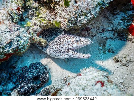Maldives. Leopard Moray Eels Lurking In The Coral Reef Crevasse Of The Coastal Shelf.
