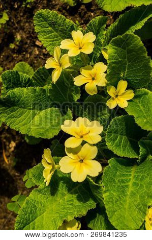 Yellow Flowers Primroses In Early Spring In The Garden