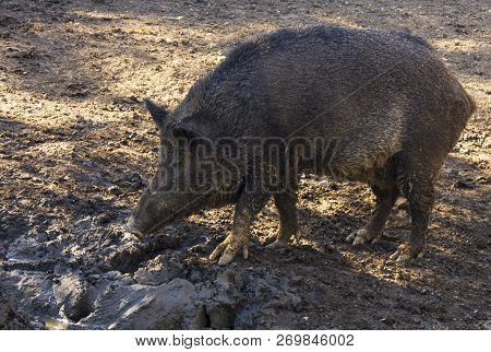 Wild Boar, Tusker Looking For Food In The Mud. As True Wild Boars Became Extinct In Britain Before T