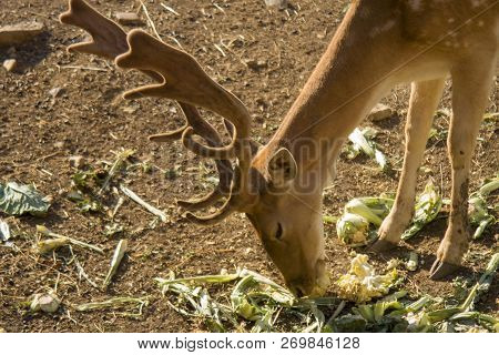 Young Deer Eating Vegetables. Deer Are The Hoofed Ruminant Mammals Forming The Family Cervidae. The