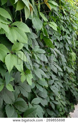 Wild Grapes. Green Leaves Of Ivy On A Wall Closeup. Wild Grapes. Wild Grapes Leaves On The Wooden Fe