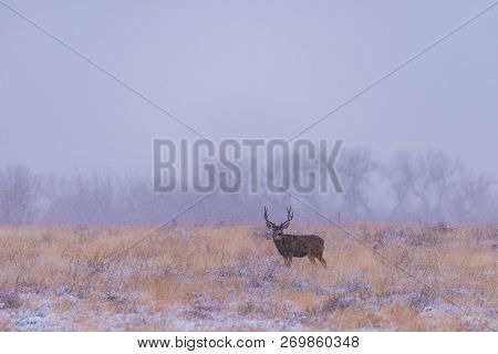 Winter Landscape With Mule Deer Buck. Wild Deer In The Colorado Great Outdoors