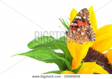 Image of a butterfly on a sunflower poster