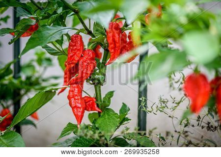 Red Hot Chilli Ghost Pepper Bhut Jolokia On A Plant.