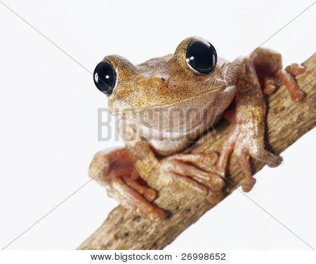 Tree frog in a macro photo isolated on white background.