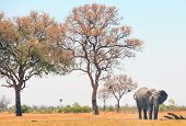 African Elephant standing on the dry arid savannah with a pale blue sky and atall mopani tree in the background. Hwange National Park, Zimbabwe poster