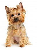 puppy yorkshire terrier on the white background poster