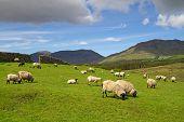 Sheep and rams in Connemara mountains - Ireland poster