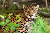 Jaguar in wildlife park of Jucatan in Mexico poster