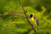 Southern masked weaver (Africa) poster