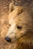 Bear portrait poster