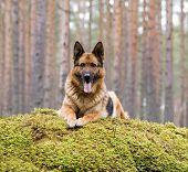 Germany Sheep-dog laying on the stone with moss poster