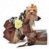 Dog wearing luxurious dress with gift box isolated poster