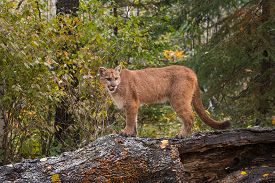 Cougar (puma Concolor) Stands On Log In Lightly Falling Snow - Captive Animal