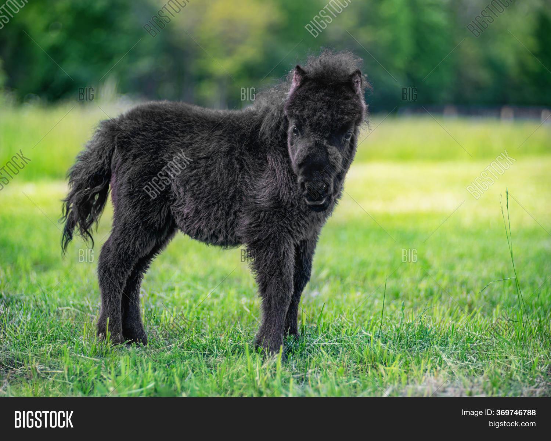 Black Baby Miniature Image Photo Free Trial Bigstock