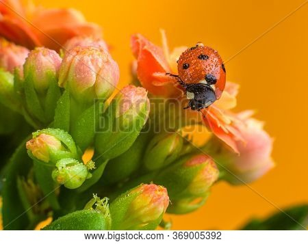 Ladybug Close-up On A Rose Flower. Red Ladybug On A Beautiful Flowering Flower Kalanchoe Blossfeldia