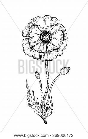 Poppy Flower. Vector Sketch. Black Outline Floral Illustration On White. Line Drawing Art In Botanic