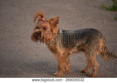 Yorkshire Terrier Walking In The Park On A Sunny Summer Day. Dog On A Walk. Yorkshire Terrier On The