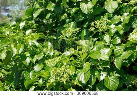 Hydrangea Petiolaris. Young Green Leaves Of Hydrangea Petiolaris In Spring. Climbing Hydrangea. Gree