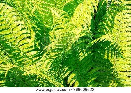 Green Fern. Fern Matteuccia Struthiopteris. Leaves Of Ostrich Fern